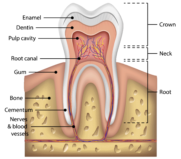 Root Canal Treatment Sutton - Tooth chart